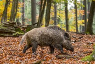 Wild boar (Sus scrofa) big ma...