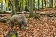 Wild boar (Sus scrofa) foragi...