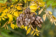 Seed pods and leaves of golde...
