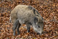 Wild boar (Sus scrofa) piglet...