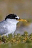 Little tern (Sternula albifro...