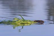 Close up of Eurasian beaver /...