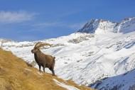 Alpine ibex (Capra ibex) male...