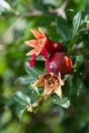 Pomegranate flower in Tree