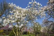 Flowering Magnolia stellata T...