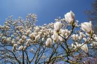 Flowering Magnolia Gresham GG...
