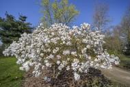 Flowering Magnolia stellata M...