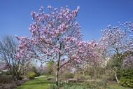 Flowering Magnolia Raspberry ...