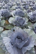Red cabbage / purple cabbages...