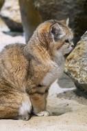Sand cat / sand dune cat (Fel...