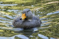 Swimming Fuegian steamer duck...