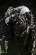 Andean condor / Chilean condo...