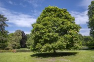 Red horse-chestnut Aesculus �...