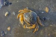 Dead flying crab (Liocarcinus...
