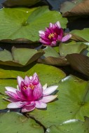 Pink cultivar of Nymphaea / w...