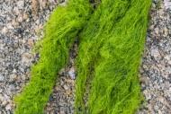 Cladophora rupestris, green a...