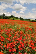 Field with poppies (Papaver r...