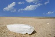 Cuttlebone washed ashore on s...