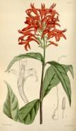 Botanical Print by Walter Hoo...