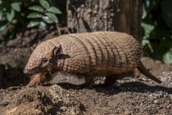 Cute yellow armadillo / six-b...