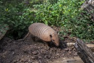 Yellow armadillo / six-banded...