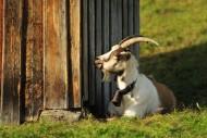 Goat lies in the sun, Bavaria...