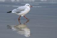 Black-headed gull (Chroicocep...