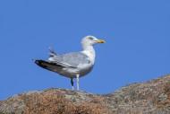 European herring gull (Larus ...