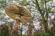 Underside of parasol mushroom...