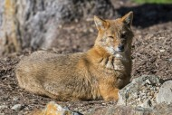 Golden jackal (Canis aureus) ...