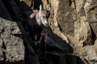Alpine ibex (Capra ibex) kid ...