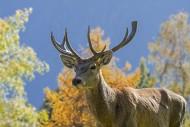 Close-up portrait of red deer...