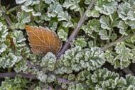 Fallen silver birch (Betula p...