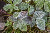 Leaves of European blackberry...
