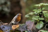 European robin (Erithacus rub...