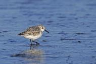 Sanderling (Calidris alba) in...