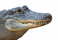 American alligator / common g...
