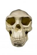 Replica of skull of Peking Ma...