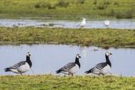 Three Barnacle geese (Branta ...