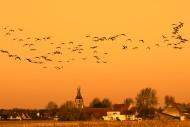 Flock of barnacle geese (Bran...