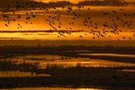 Flock of ducks silhouetted ag...