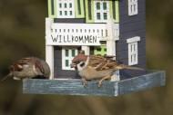 Two Eurasian tree sparrows (P...