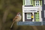 Eurasian tree sparrow (Passer...
