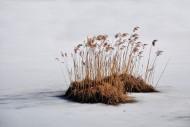 Reed island in a frozen lake ...