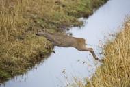 Fleeing European roe deer (Ca...