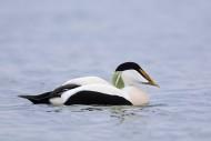 Common eider duck (Somateria ...
