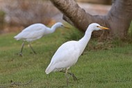 Two cattle egrets (Bubulcus i...