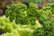 Garden parsley (Petroselinum ...