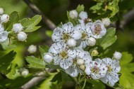 Blossoming common hawthorn / ...