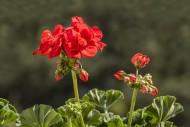 Red geranium / pelargonium / ...